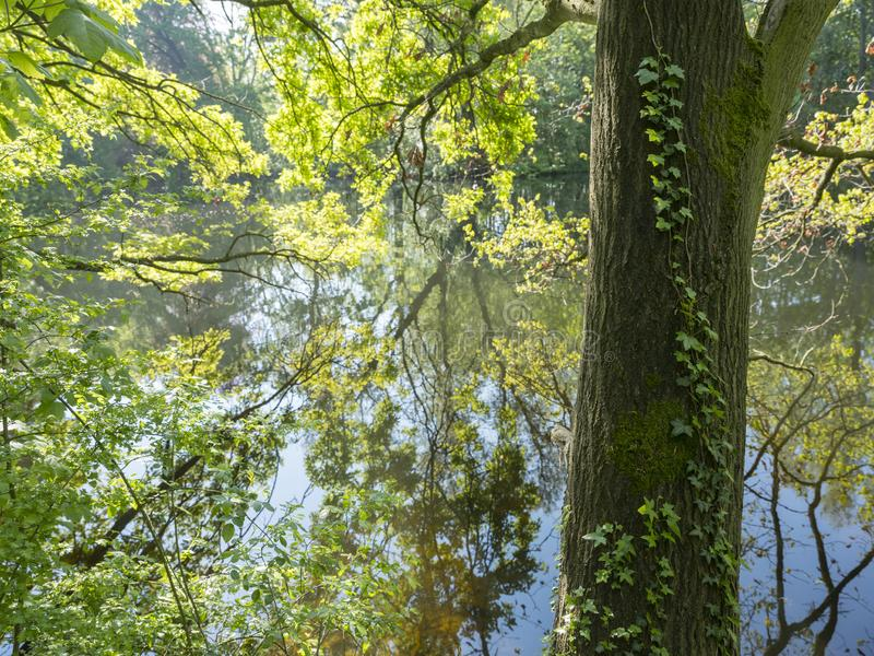 Fresh leaves of oak tree reflect in water of pond. Fresh spring leaves of oak tree hang above water in pond stock image