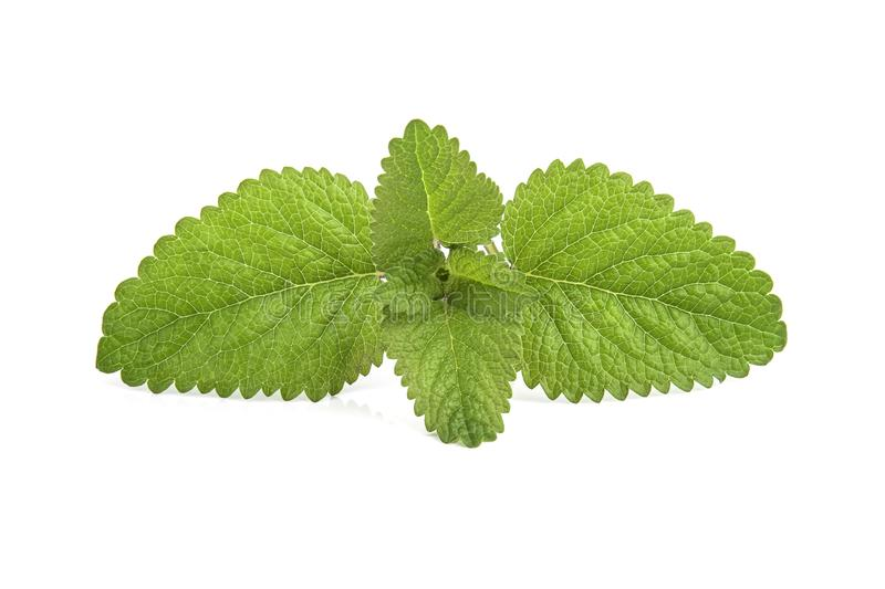 Fresh lemon balm bunch isolated on white. Background aroma aromatherapy aromatic botanical branch closeup condiment flavor flora foliage food fragrance fragrant stock photos