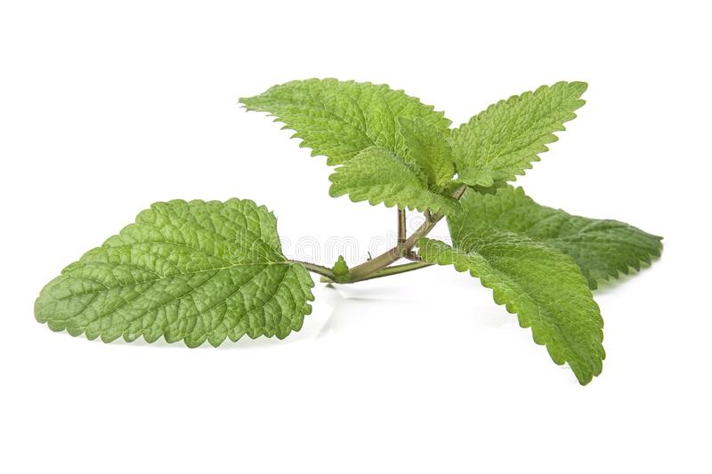 Fresh lemon balm bunch isolated on white. Background aroma aromatherapy aromatic botanical branch closeup condiment flavor flora foliage food fragrance fragrant stock photo