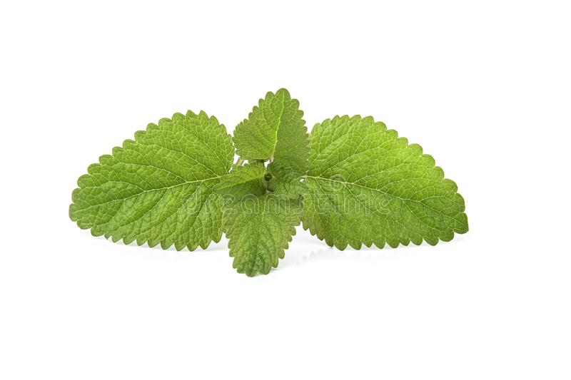 Fresh lemon balm bunch isolated on white. Background aroma aromatherapy aromatic botanical branch closeup condiment flavor flora foliage food fragrance fragrant royalty free stock photo