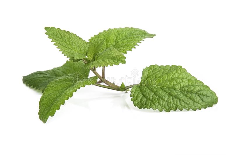 Fresh lemon balm bunch isolated on white. Background aroma aromatherapy aromatic botanical branch closeup condiment flavor flora foliage food fragrance fragrant royalty free stock photos
