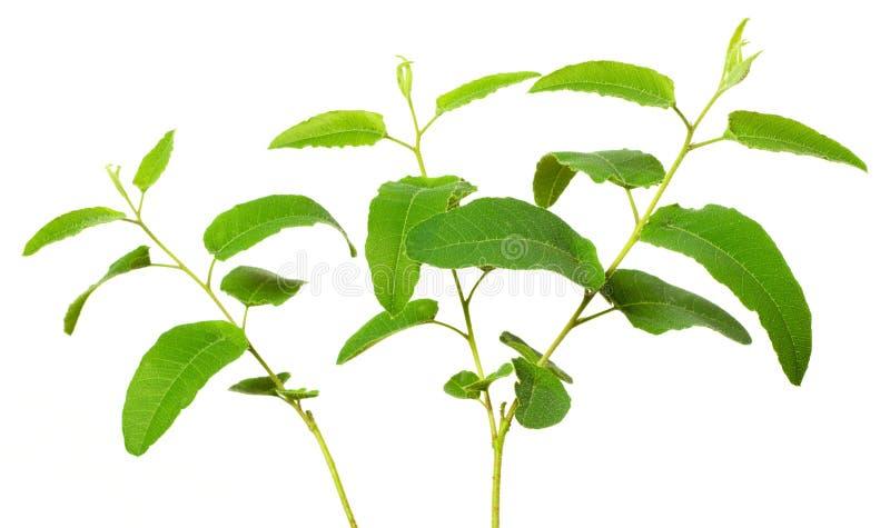 Fresh lemon eucalyptus isolated on white stock image