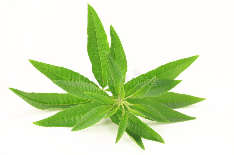 Fresh lemon verbena royalty free stock photos
