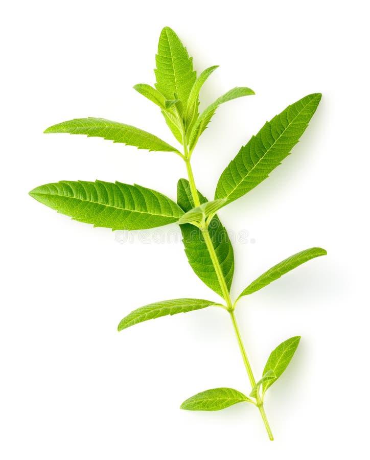 Fresh lemon verbena leaves isolated on white royalty free stock photography