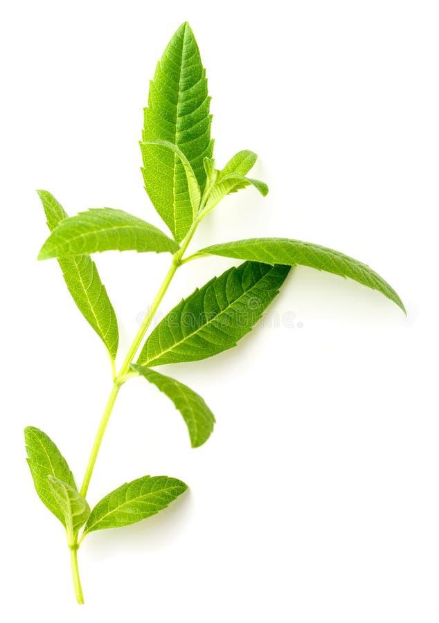 Fresh lemon verbena leaves on white royalty free stock images