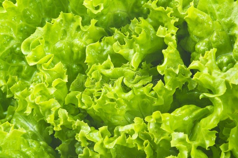 Fresh Lettuce stock photos