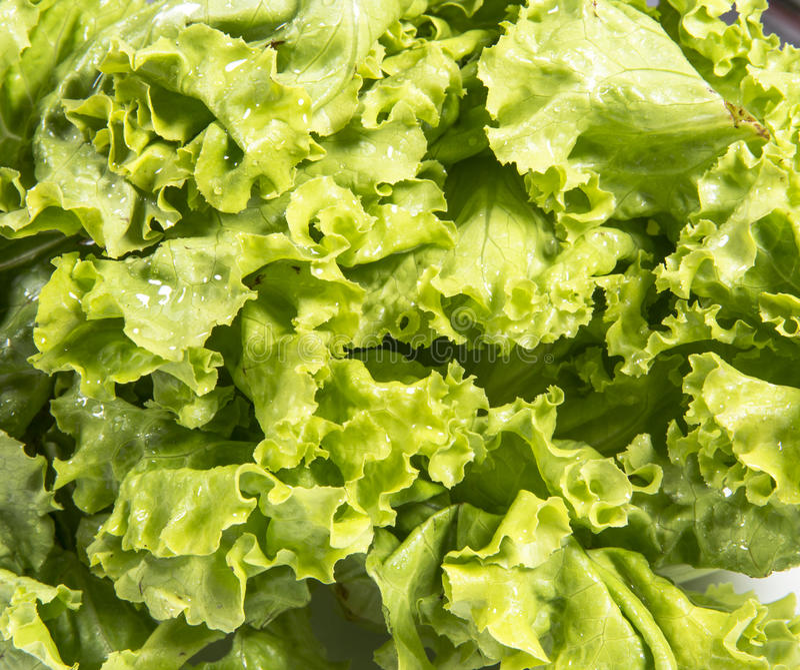 Fresh Lettuce Royalty Free Stock Image