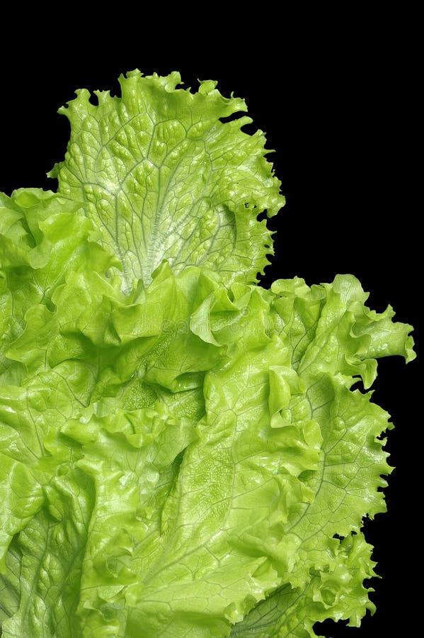 Fresh lettuce royalty free stock photography