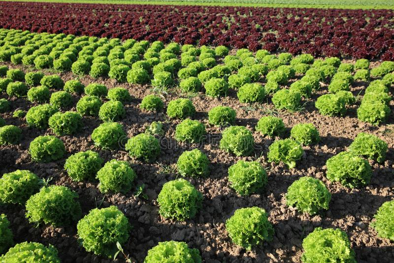 Fresh Lettuce on the Field stock photography