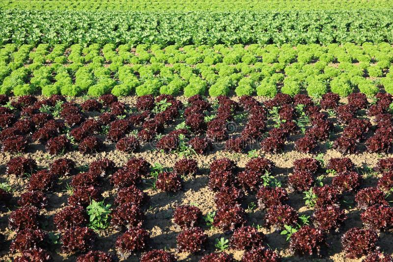 Fresh Lettuce on the Field stock image