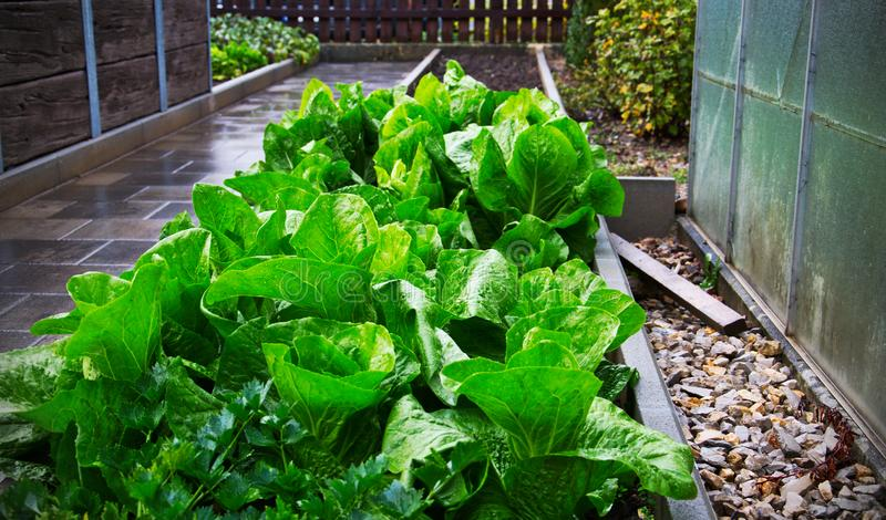 Fresh lettuce growing in garden outdoors. Picture of a garden with fresh selfgrown lettuce on a rainy day stock images