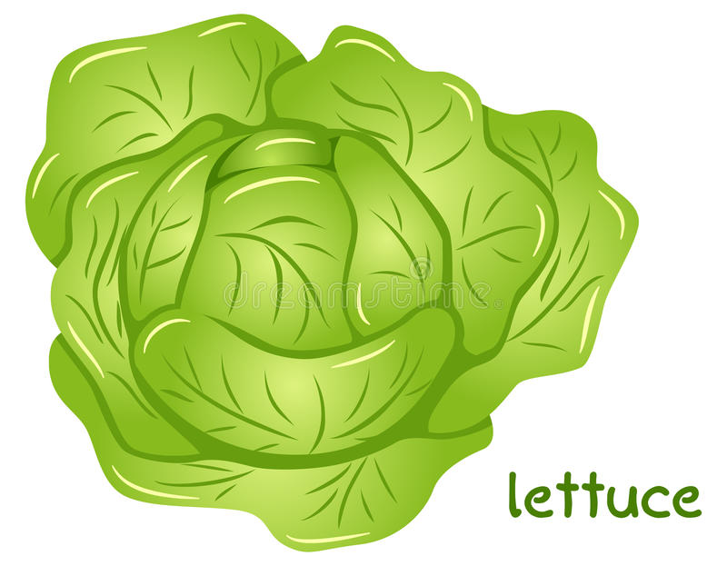 Fresh lettuce head vector illustration
