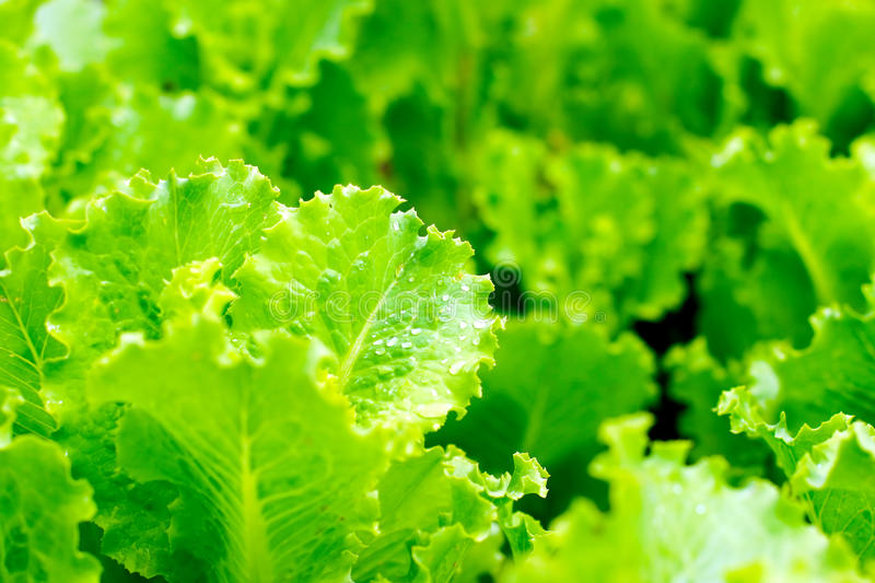 Download Fresh lettuce leafs stock image. Image of nature, close - 16654141