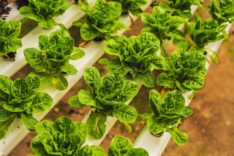 Fresh lettuce leaves, close up.,Butterhead Lettuce salad plant, hydroponic vegetable leaves. Organic food ,agriculture royalty free stock image