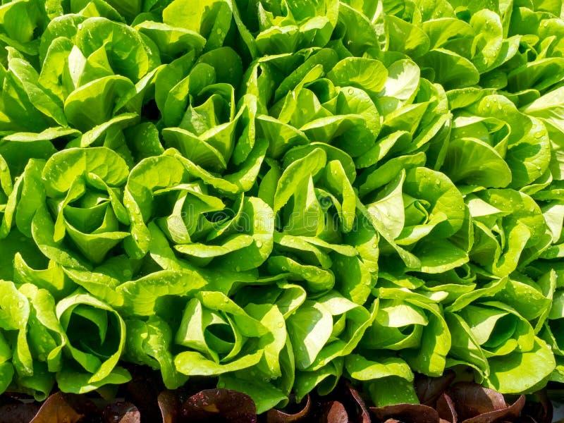 Fresh lettuce leaves texture stock photo