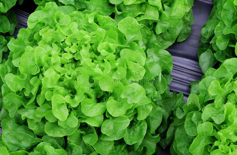 Fresh lettuce leaves vegetables for salad, hydroponic vegetable plant. stock photos