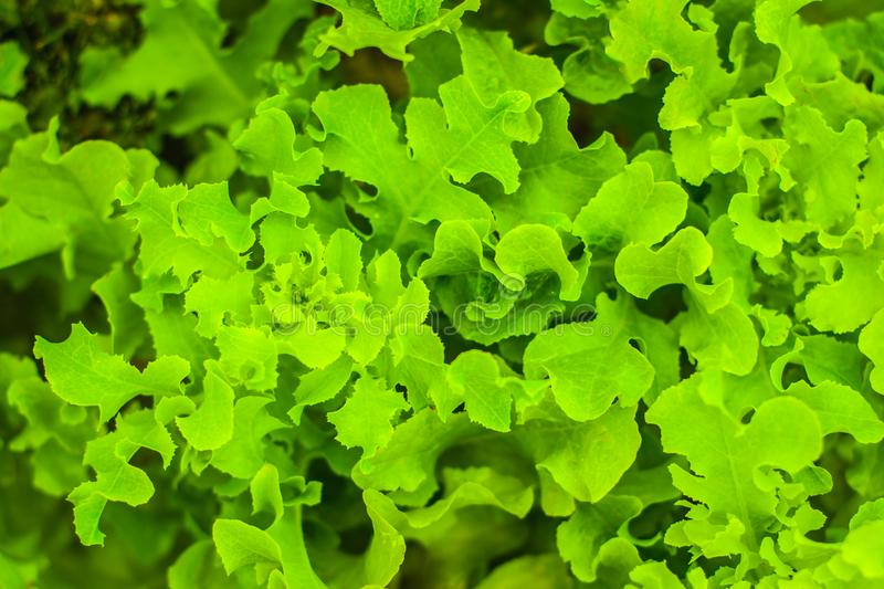 Fresh lettuce plant with curly leaves close-up growing in the organic farm. Organic healthy juicy vegetables top view. Fresh lettuce close-up growing in the stock photography