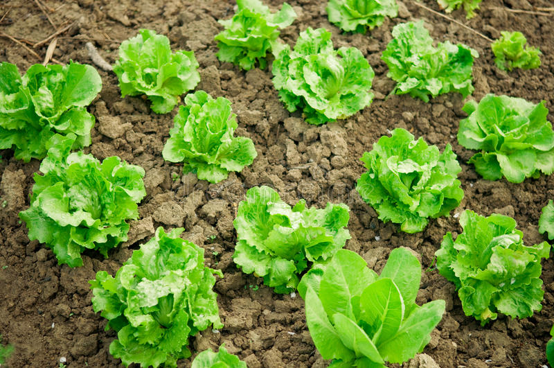 Fresh lettuce stock image Image of spring food agriculture 30700321