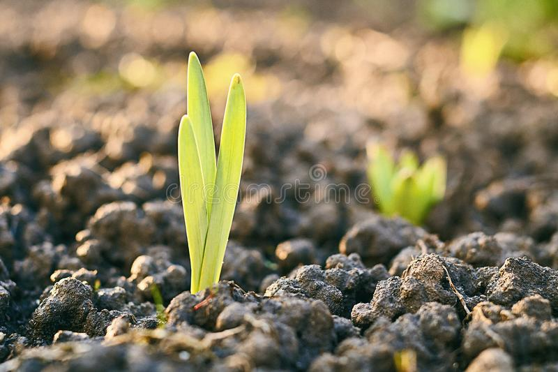 Fresh light green sprout growing through ground on spring flowerbed. In sunlight royalty free stock image