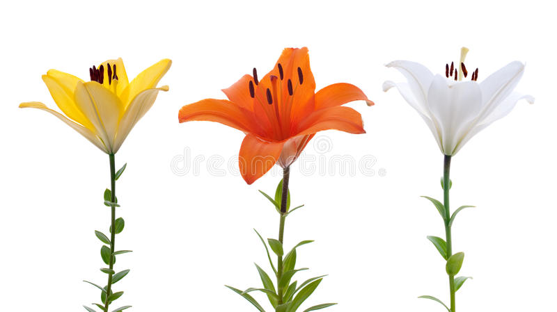 Download Fresh lilys stock image. Image of copy, detail, color - 14855875