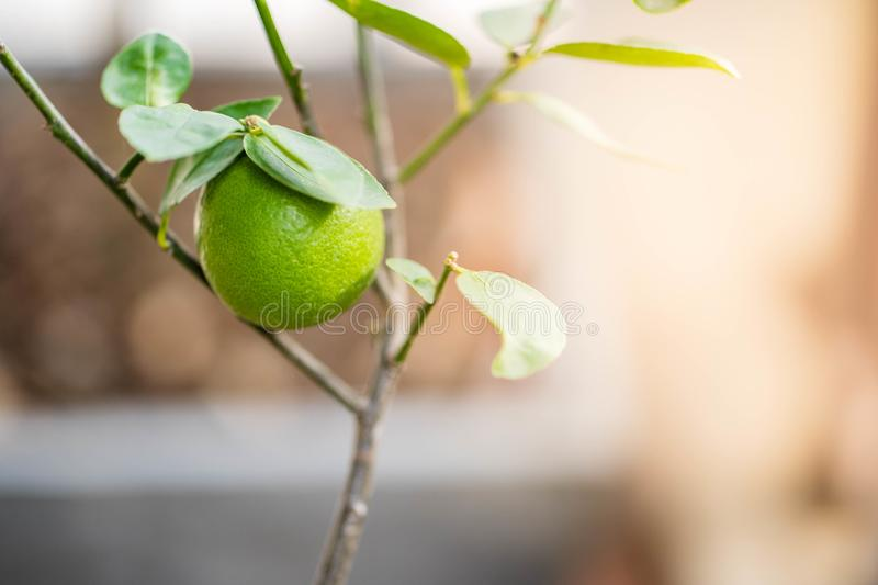 Fresh lime on the tree stock image