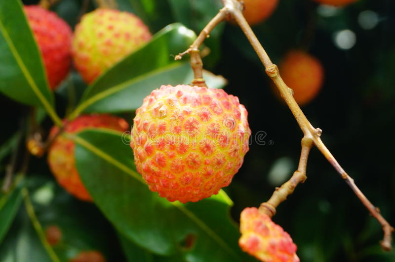 Fresh litchi. Hung on litchi tree, has matured. Litchi is a very delicious tropical fruit. In Shenzhen, China royalty free stock photos