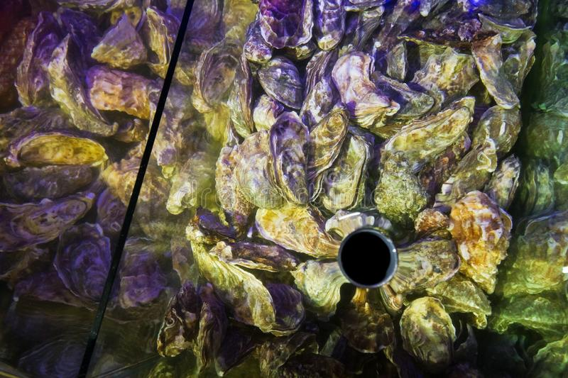 Fresh live edible oysters, Ostrea edulis, on sale in fish store aquarium, expensive and healthy delicatessen seafood. For epicures stock photography