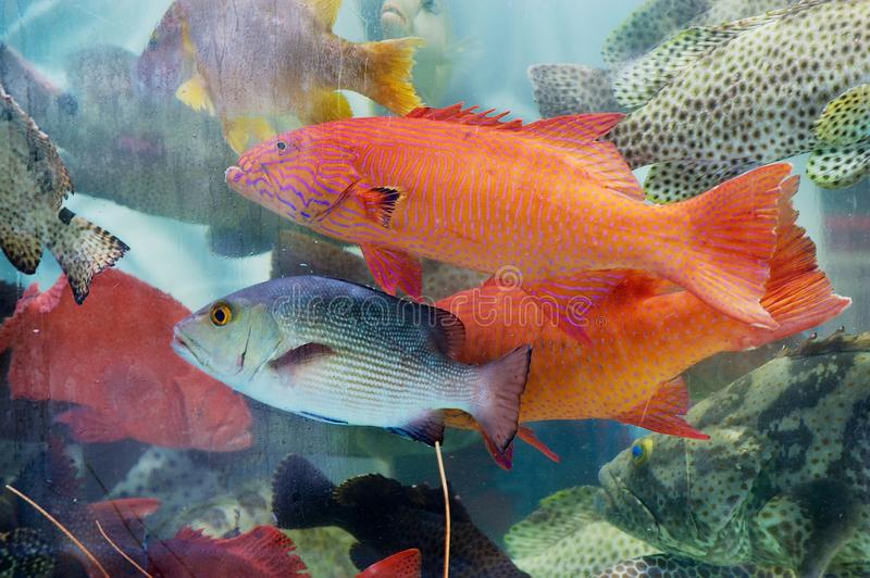 Fresh fish catch of the day behind the wet stall glass at the seafood market in Hong Kong, China. royalty free stock images