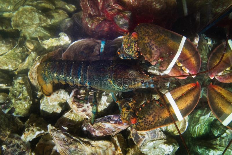 Fresh live lobster with big tied claws and edible oysters, Ostrea edulis on sale in fish store aquarium, expensive and healthy. Delicatessen seafood for royalty free stock photo