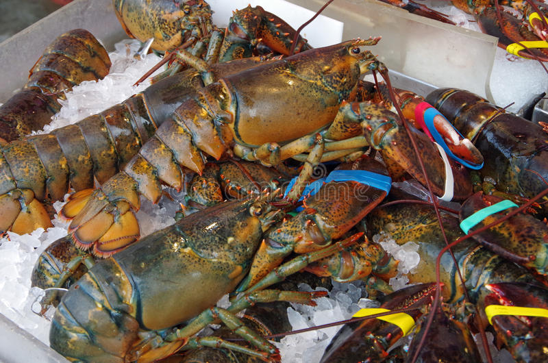 Fresh live lobsters on ice. With colorful rubber band claws royalty free stock images