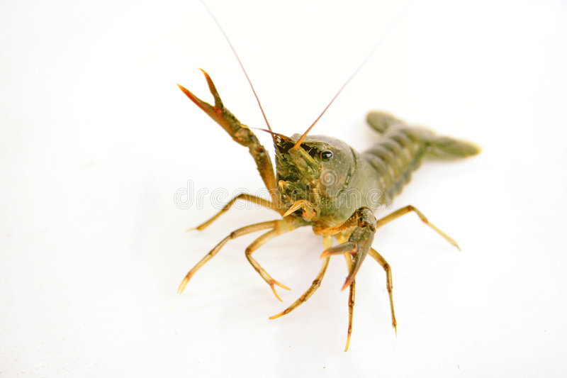 Fresh lobster on a white background stock image