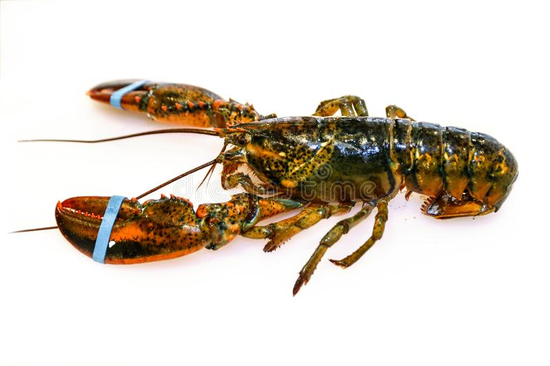 Fresh lobster on white background royalty free stock photo