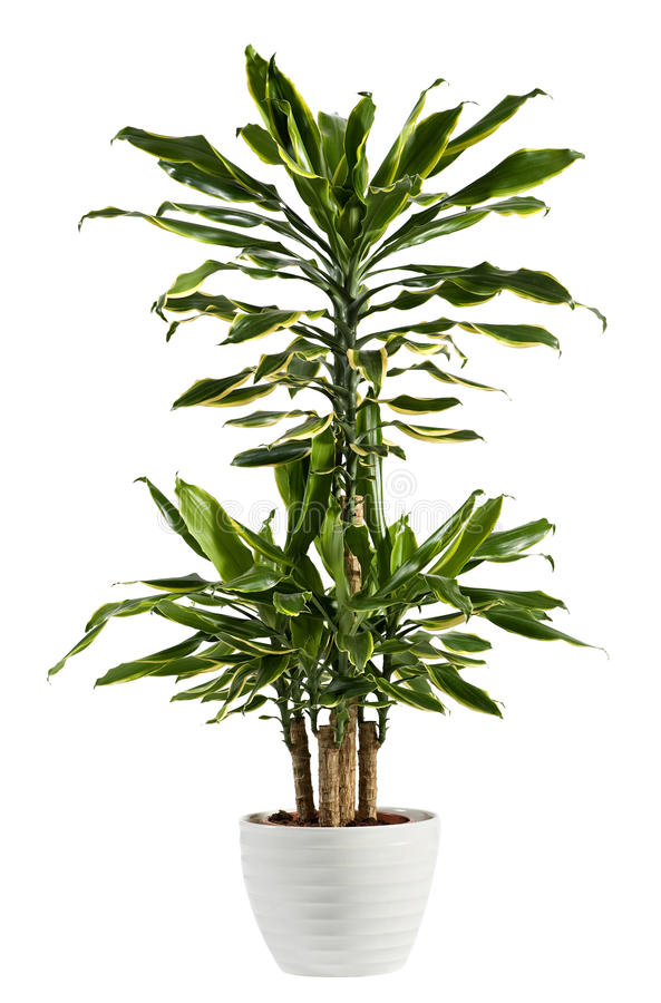 Free Fresh Look Dracaena Fragrans Flowering Plant Stock Images - 83239264