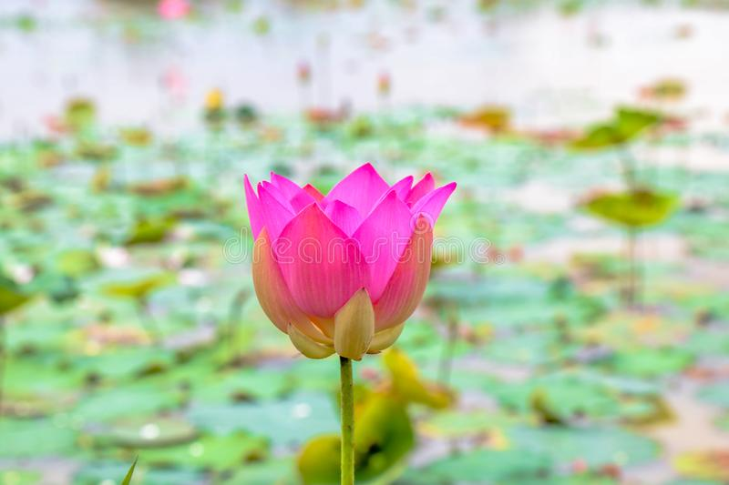 Fresh lotus In lake royalty free stock photography