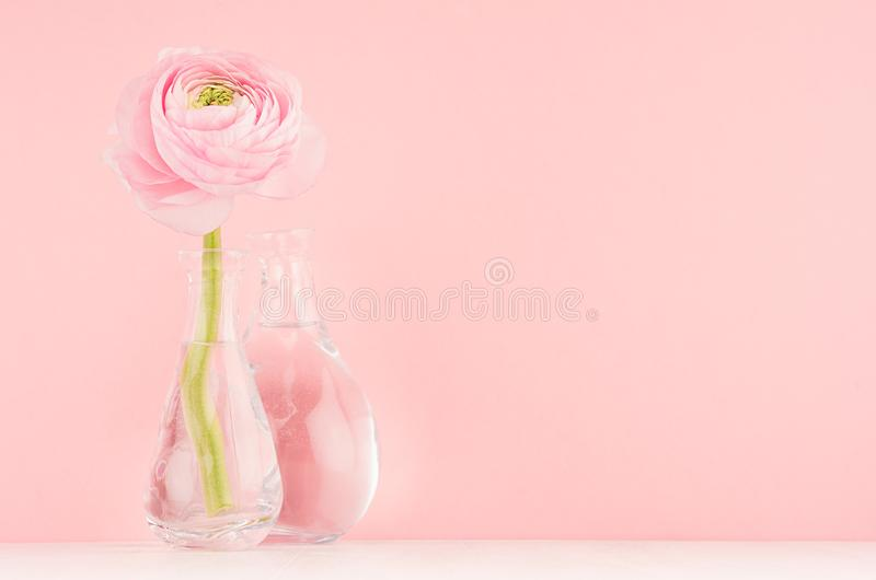 Fresh lovely spring ranunculus in delicate vase in gentle sweet soft light pink color decor for home interior. Fresh lovely spring ranunculus in delicate vase stock photography
