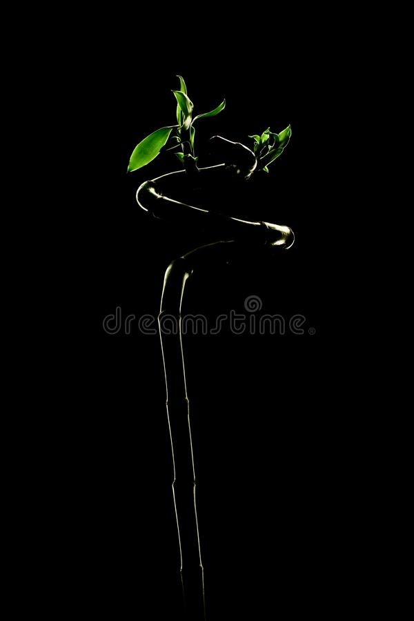 Three Fresh Lucky Bamboo over Black. Dracaena. Fresh Lucky Bamboo over Black royalty free stock image