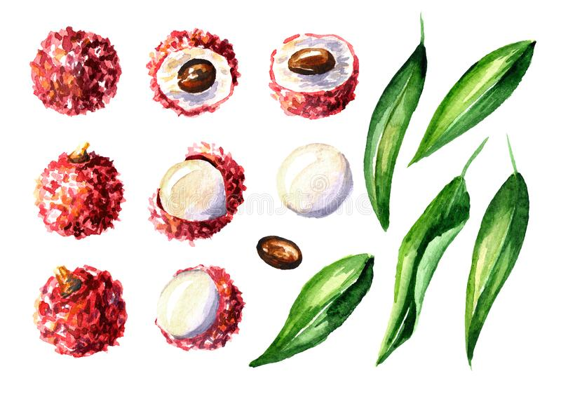 Fresh lychee fruits and leaves elements set. Watercolor hand drawn illustration isolated on white background. royalty free illustration