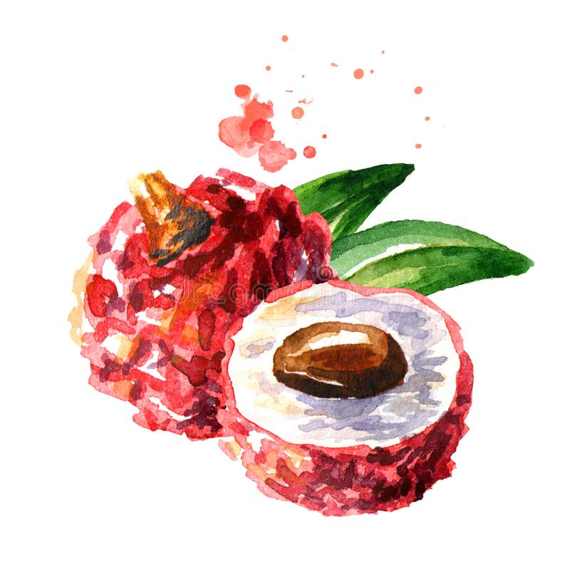 Fresh lychee fruits. Watercolor hand drawn illustration isolated on white background. royalty free illustration