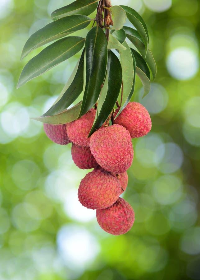 Fresh lychee on tree royalty free stock photos
