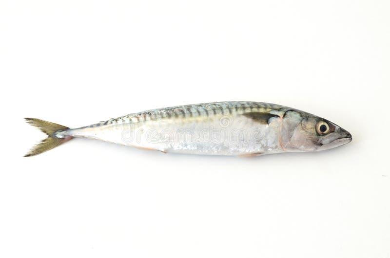 Fresh Mackerel Fish On White Background Stock Image