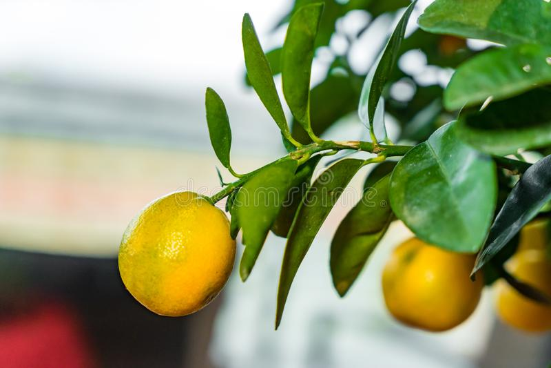 Fresh Mandarin Oranges fruit with leaves on Mandarin tree. Chinese New Year concept royalty free stock photo