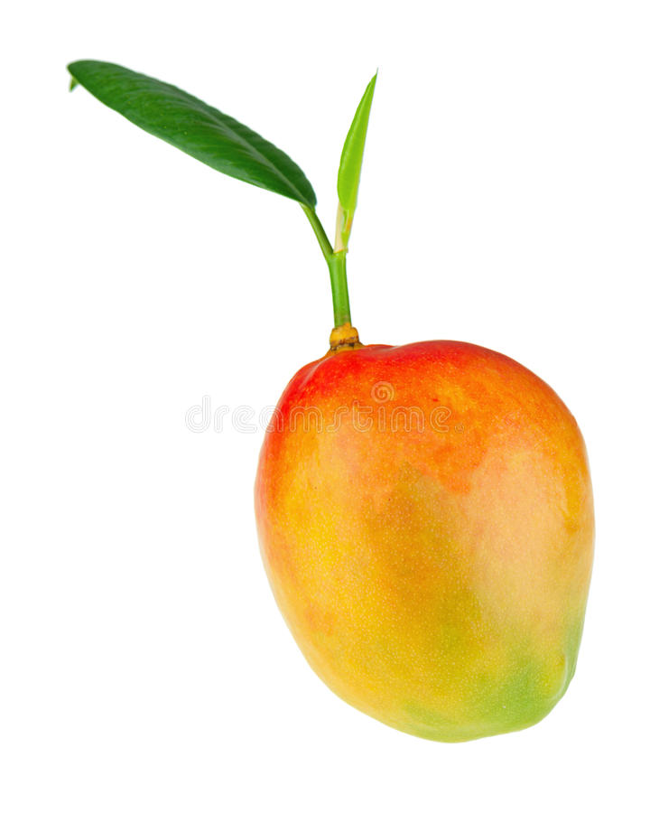 Fresh mango fruit with green leaves isolated on white background. Closeup stock images