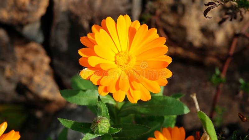 Fresh marigold in bloom known also as Calendula officinalis growing in the garden stock photos