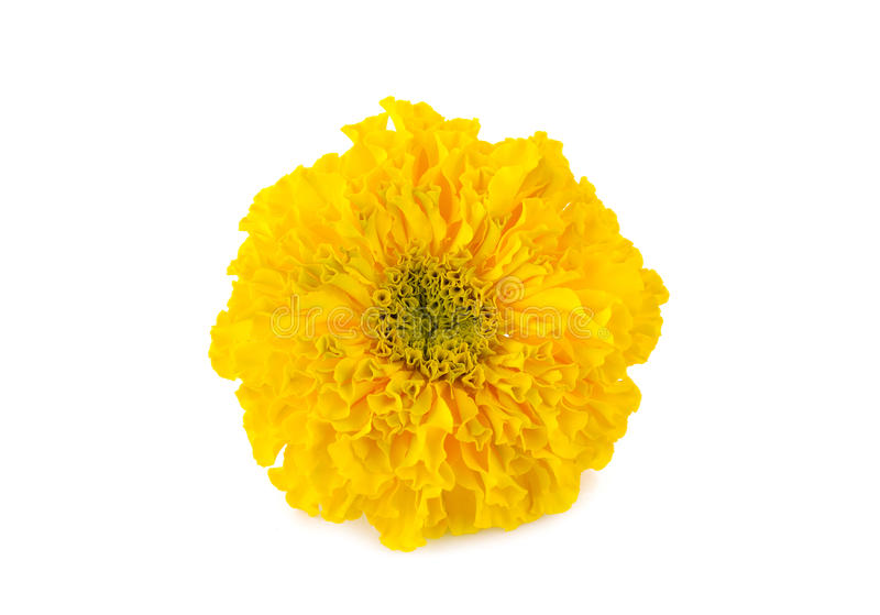 Fresh Marigold flower on white background stock photography