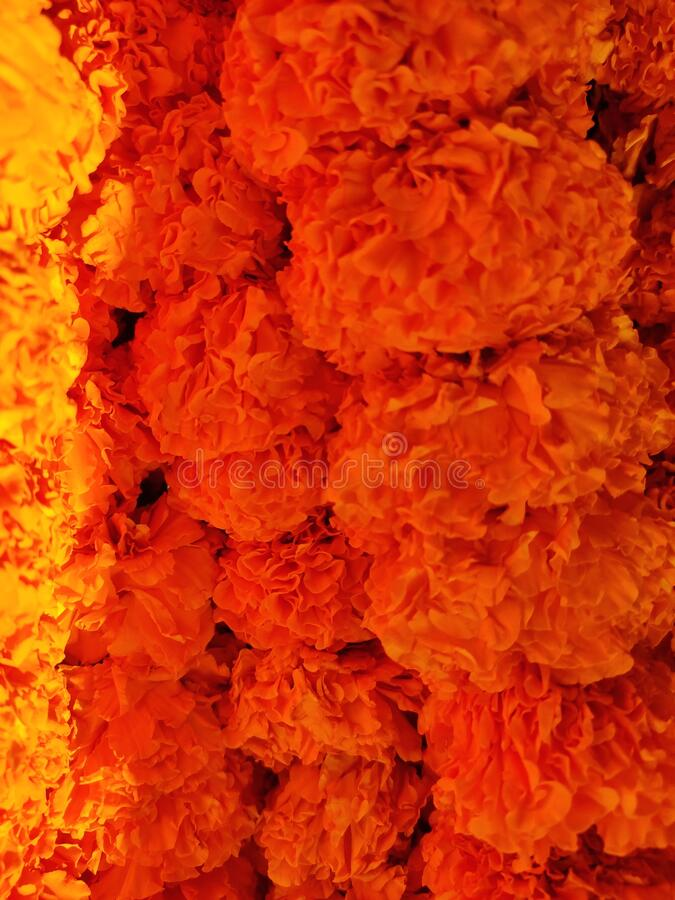Fresh marigold flowers royalty free stock photo
