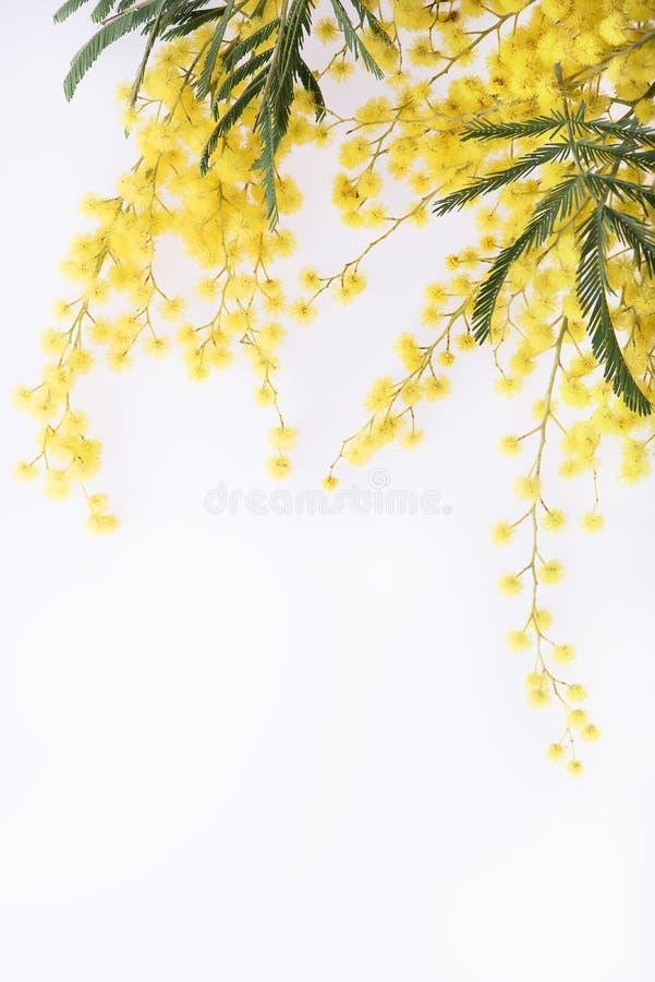 Fresh mimosa flower on white. Background closeup stock photo