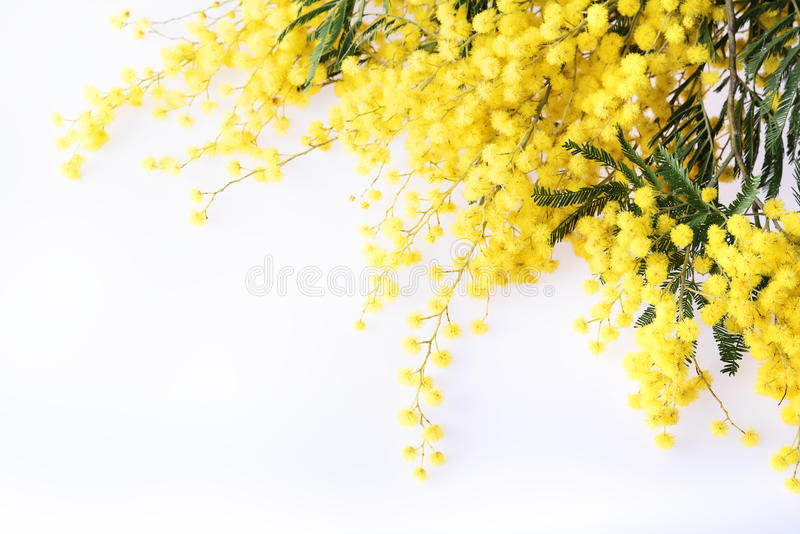 Fresh mimosa flower on white stock images