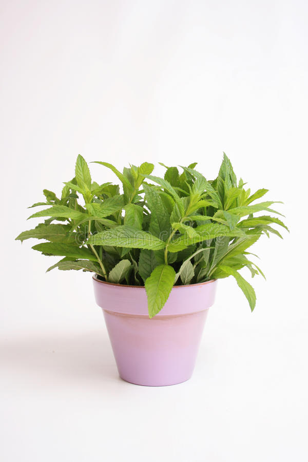 Fresh mint royalty free stock photo