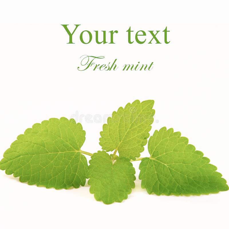 Download Fresh mint stock image. Image of single, mint, eating - 18335073