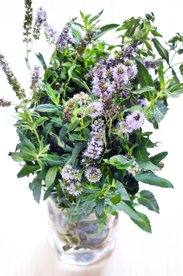 Download Fresh mint in blossom stock photo. Image of fresh, genus - 26765050